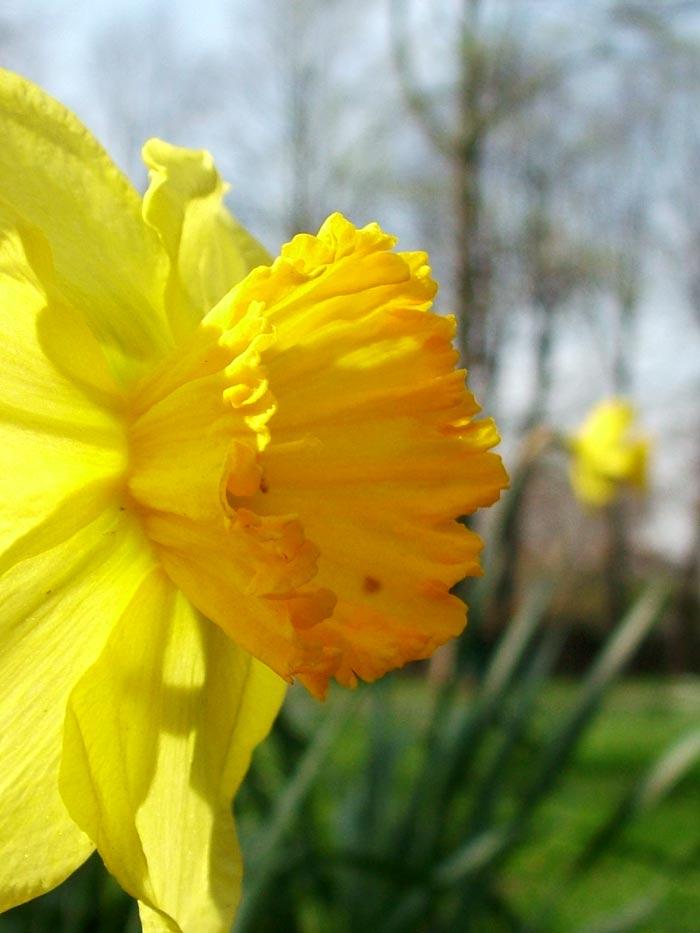 Churchyard Garden Spring Daffodils