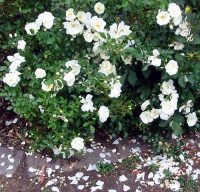 White Carpet Rose - Bing images