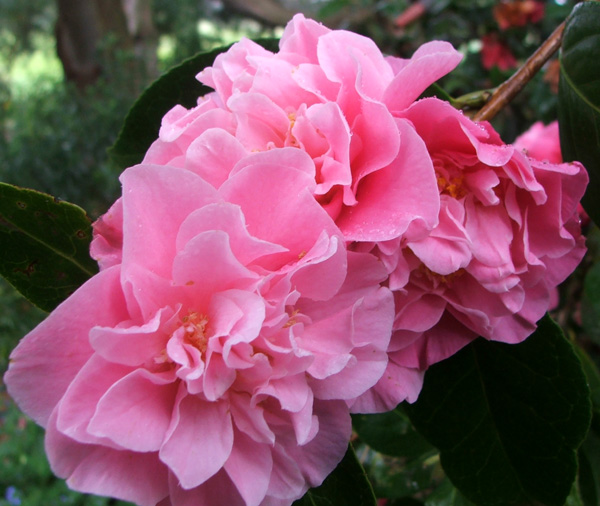 Fluffy Pink Camellia