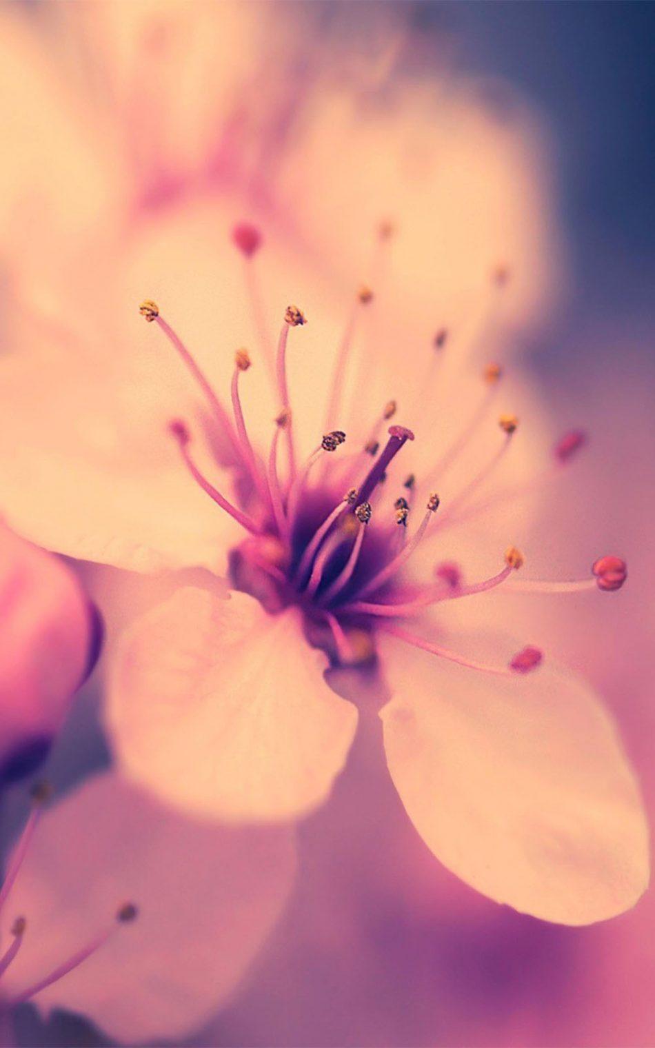 Cherry Blossom 4k Ultra Hd Mobile Wallpaper