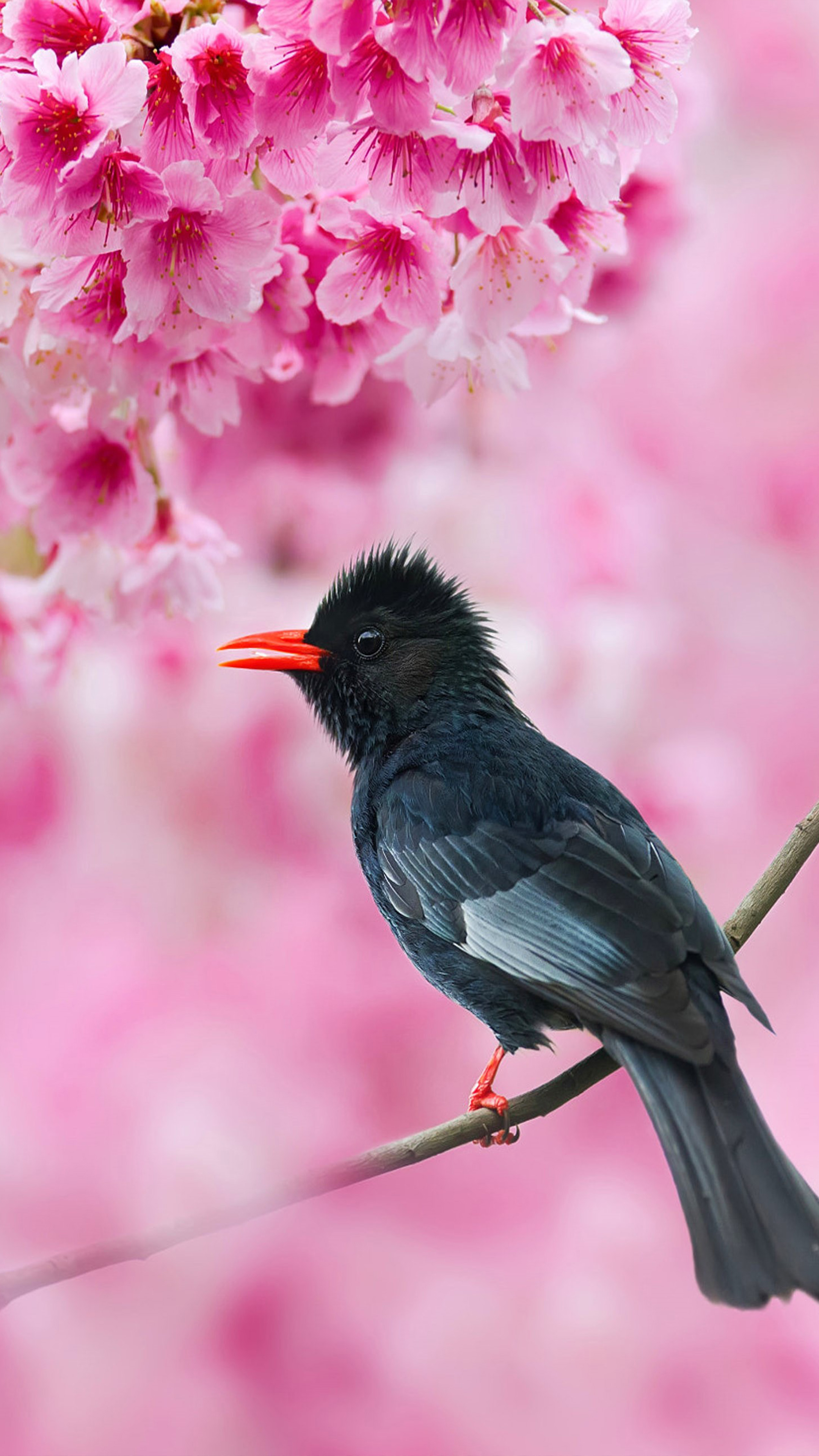Wallpaper Brazil Girl Download Black Bulbul Sakura Tree Pink Flowers Free Pure