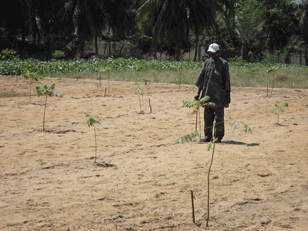 Mr. Gbafa with one of cadrella odorata seedlings planted in ending of June
