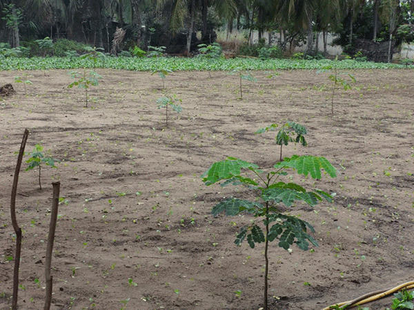 Albizia seedlings planted in line with spacing of 2m x 2m