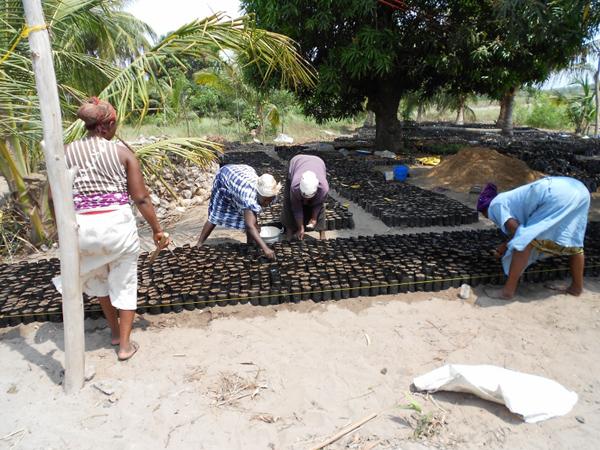 Women in Srohume Village Nursing  Swietenia Humilis (Mahogany)