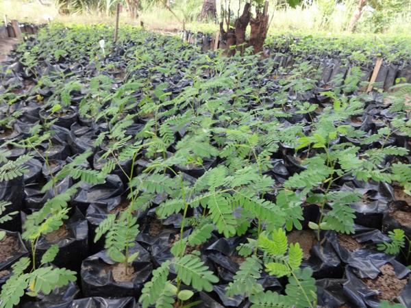 Lucaena leucocephala seedlings