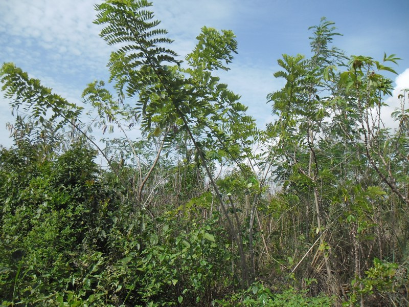 TREES INTRCROPPED WITH CASSAVA