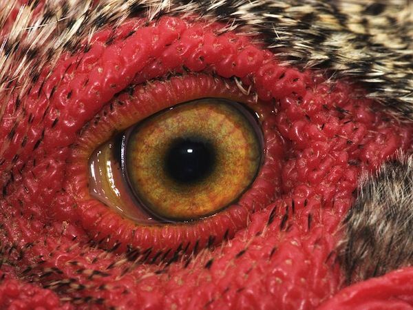 Rooster-Eye_photo-by-Cecil-Williams