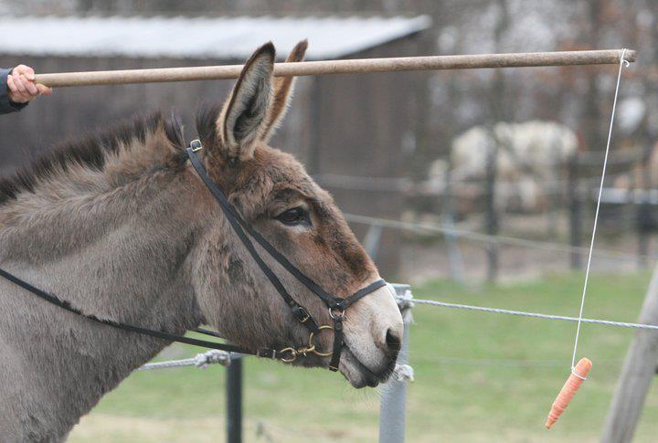 donkey-carrot