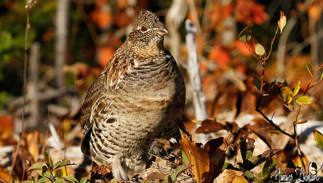Ruffed Grouse Shooting – Tips From A Professional Hunter