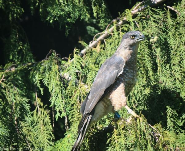 falcon 002.2