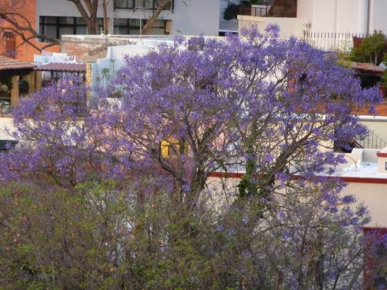 Jacaranda beginning to bloom