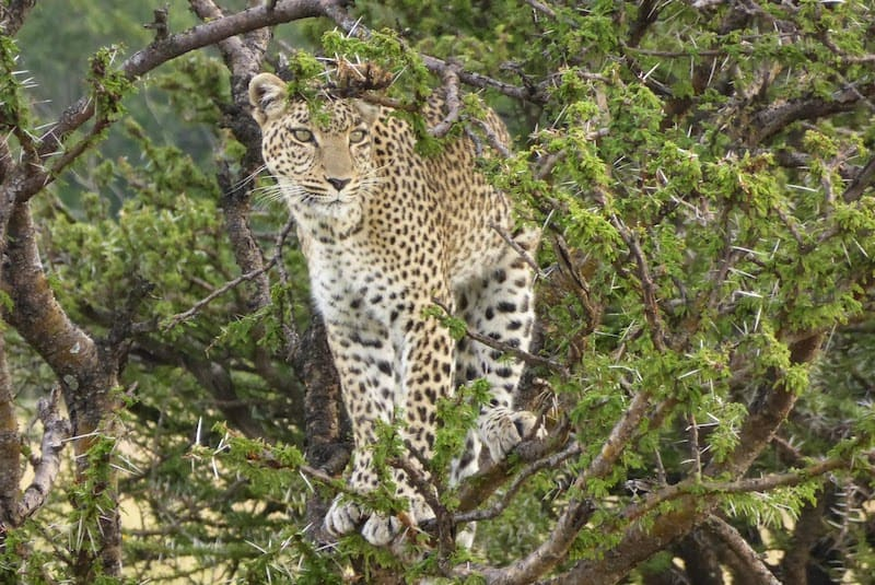 An over-50 traveler spots a leopard in the bush