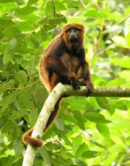 Howler Monkey (Credit: Wikipedia, Paulo Chaves