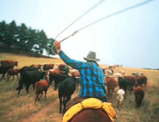 City slicker on a working cattle ranch