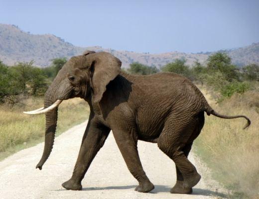 An elephant in the Masai Mara, Kenya