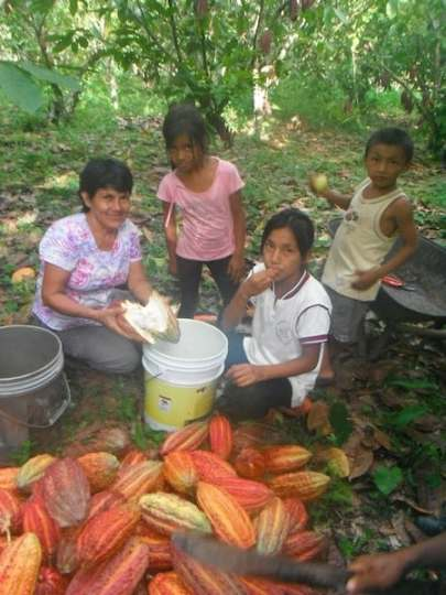 Peruvian families harvest cacao on their plantation. Photo credit: Doreen Pendgracs