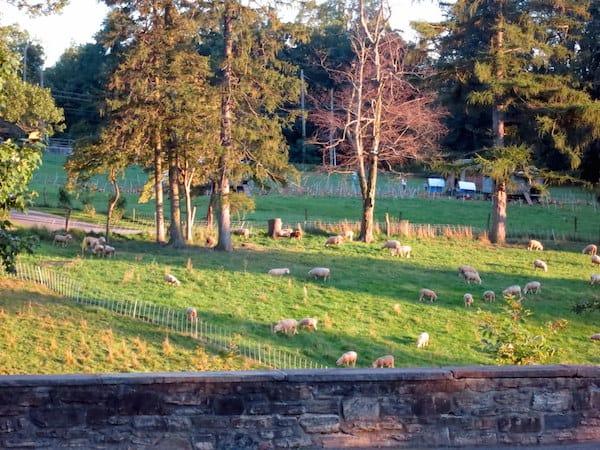 Sheep grazing in the fields