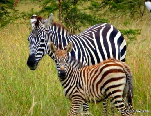 Zebra and her foal