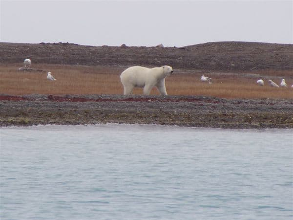 First polar bear spotted