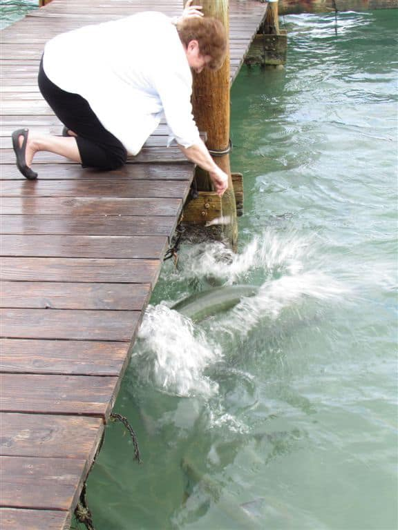 Sandra feeds Tarpon
