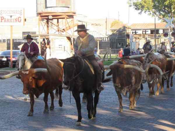 Herding Longhorns in Fort Worth