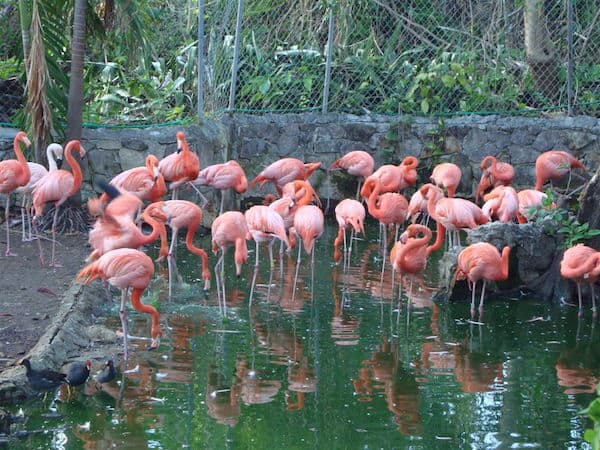 Pink Flamingos in Nassau