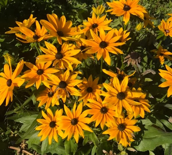 Black-eyed Susans at The Lodge at Woodloch