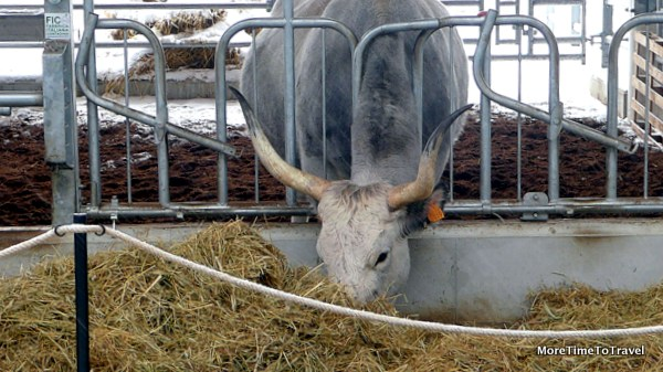 One of the barnyard animals greeting visitors at FICO