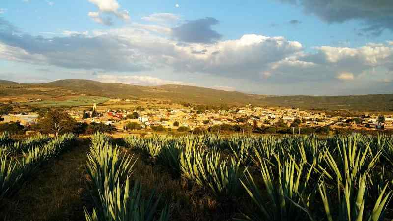 Agave plants in Mexico