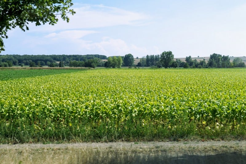 Barge Cruise through Alsace & Lorraine: Cornfield in Alsace
