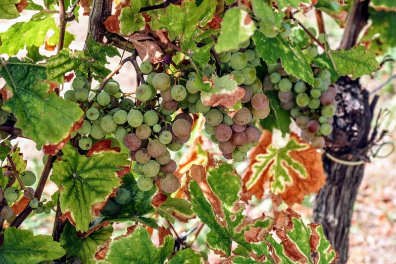 Best Day Trip from Strasbourg - Vineyard grapes in Riquewihr