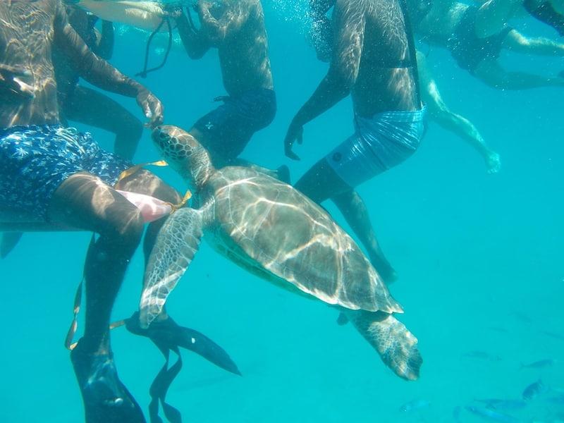 A friendly sea turtle in Barbados