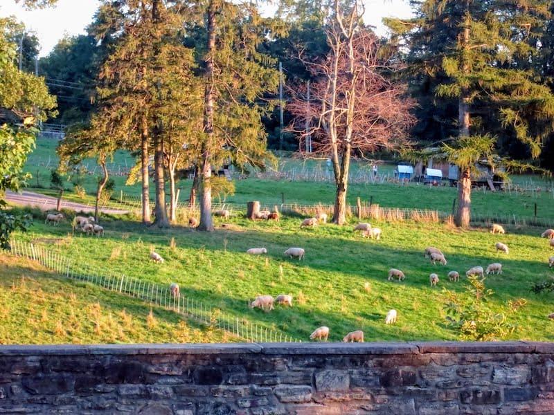 Sheep grazing at Blue Hill at Stone Barns