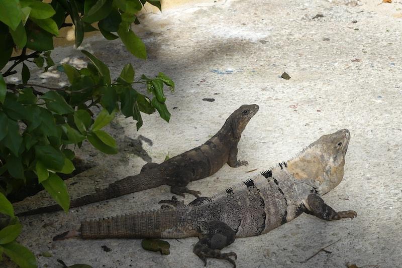 Iguanas along the path at Zoetry Paraiso de la Bonita
