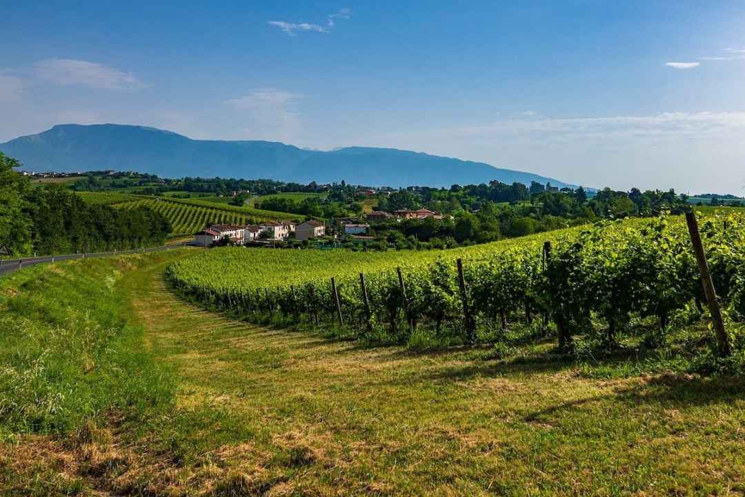Prosecco: A vineyard with Glera grapes