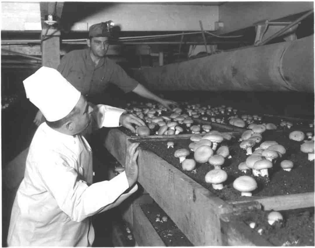 An old photo of the chef and his mushrooms (Credit: ConAgra)