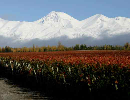 Vineyard with Andes Mountains in the background