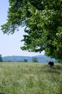 Longhorn in a pasture