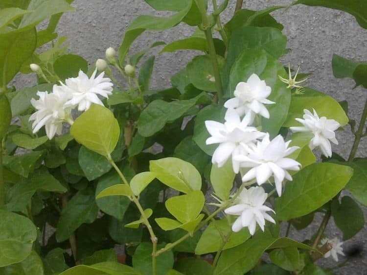 How to grow and care arabian jasmine plant morflora for Easy to care for outdoor flowering plants