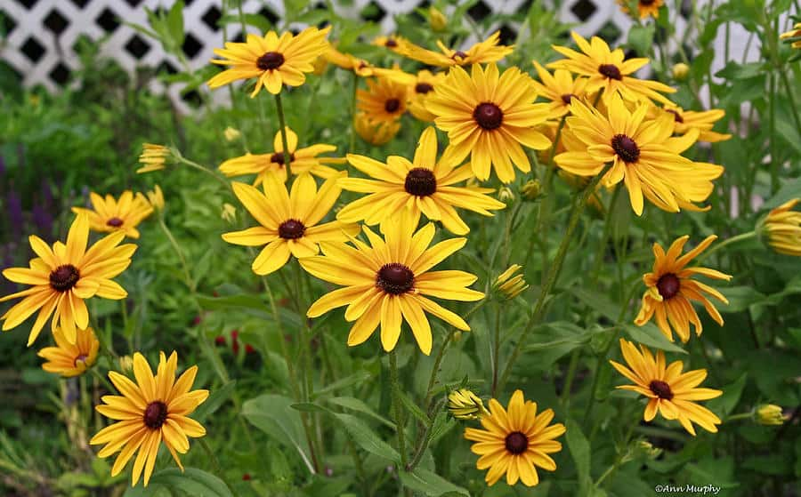 Yellow daisy morflora yellow daisy mightylinksfo