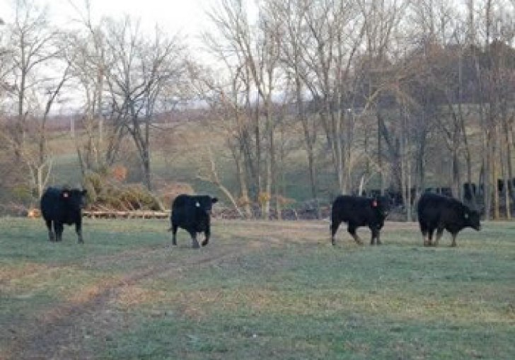 Black Angus For Sale Wisconsin