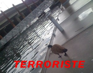 Canadian Goose: Fowl or Fearsome Terrorist?