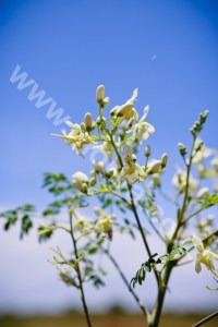 Benefits Of Moringa Leaves Powder For Health And Beauty