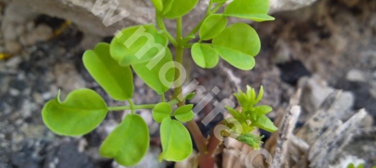 Know The Benefits Of Moringa Powder For Breastfeeding Mothers