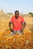 Récolte de maïs