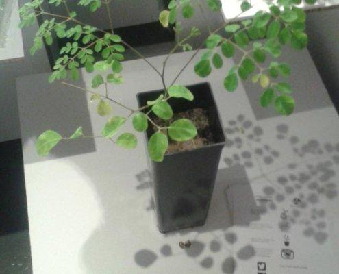 Planta de Moringa oleífera presentada a Bid16