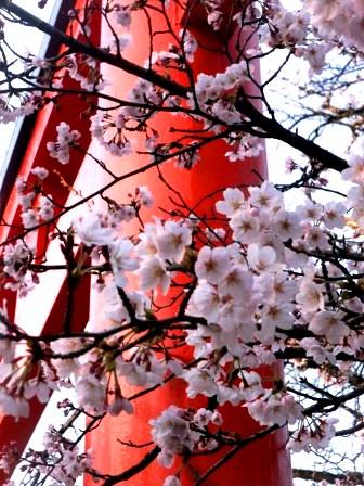 京都・サクラと鳥居