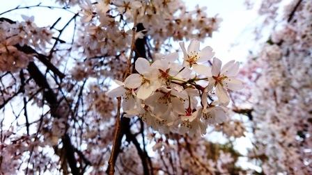 2016年京都御所 桜