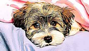 5 Best Morkie Dog Training Apps iPhone Lovers | Morkie Flash