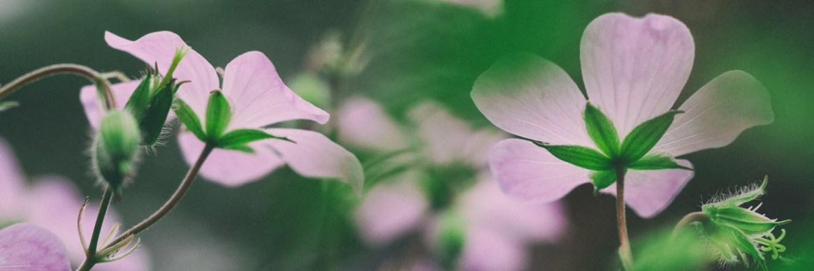 geranium-aaron-burden